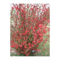 Spitfire Flowering Quince - Healthy Established Roots - 3 Pack Small Pots
