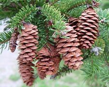 White Spruce - Picea Glauca - 25 seeds - Bonsai - Conifer Tree