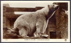 Greenland Polar Bear at the Zoo. Vintage Real Photo Postcard. Free UK Postage
