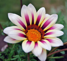 GAZANIA- MIXED COLOURS   Bulk  pkt  500 seeds