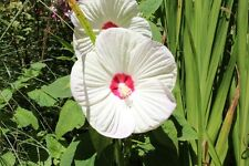 Hibiscus moscheutos RiesenHibiskus 20 Sa. Sumpfeibisch riesige Blüten winterhart