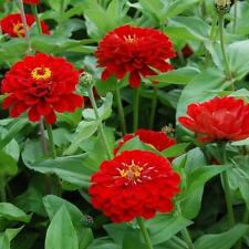 Flower Seeds Zinnia Scarlet Flame Cut Cutting Bedding Pictorial Packet Uk
