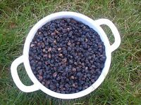 ELDERBERRY FRUIT Sambucus Elder Berries 1Lb (453gram) Organic dried 2018 fresh!!