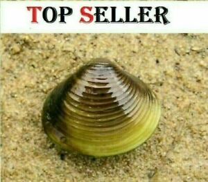 10 Live Freshwater Clams: Perfect For Aquariums And koi ponds / Algae Control