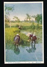 Japan Gathering rice plants c1920/30s?? PPC social history