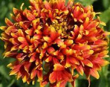 30+ GAILLARDIA BI-COLOR SUNDANCE FLOWER SEEDS / RARELY OFFERED  PERENNIAL
