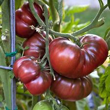 TOMATO Black Krim Heirloom Seeds (V 236)