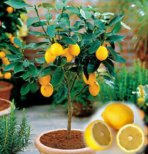 15 Edible Fruit Meyer Lemon Seeds, Exotic Citrus Home Bonsai Lemon Tree Seeds