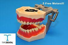 Dental Typodont Model FG3 / AG3 works with Frasaco brand teeth (5 free molars)