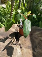 Red Emerald Philodendron Erubescens Fully Rooted ACTUAL PLANT