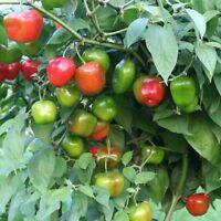 Rocoto Manzano Rojo rote Chilli Baumchili sehr scharf & saftig C. pubescens