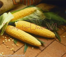 SUGAR BUNS EARLY yellow Extra Sweet Gourmet Hybrid SWEET CORN 35+ seeds  NON-GMO