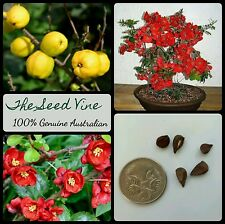 10+ JAPANESE QUINCE TREE SEEDS (Chaenomeles japonica) Bonsai Red Flowering