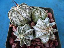 "Astrophytum capricorne FOUR (4!) Plants Great Spines/Colors Nice FULL 3.25"" Pot"