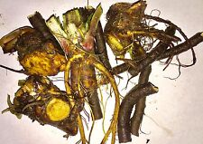 12+ LARGE Bocking 14 COMFREY root and crown cuttings - medicine, fertilizer