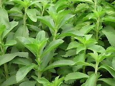HERB  STEVIA REBAUDIANA  50 FINEST SEEDS