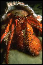 427057 Hermit Crab A4 Photo Print