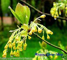 GUMBO FILE - 12 SEEDS - Sassafras Albidum Bonsai tree aromatic leafs Silky