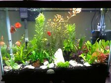 Live Discus Fish- Assorted Colors- Freshwater Fish