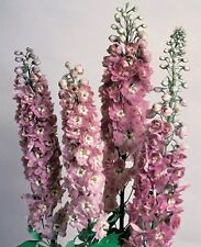 Delphinium Seeds Pennant Pink W/White Bee 100 FLOWER SEEDS