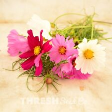 Garden Flower - Sensation Mix Cosmos - 250 seeds + Free Gift