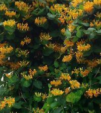 Stecklinge gelbes Geissblatt winterharte mediterrane Exoten Bäume für den Garten