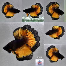 Live Betta Fish SP112 Butterfly Black Mustard Gas HM Premium Grade