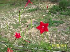 25-seeds Cardinal climber vine (red)