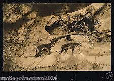 ITALY 295 ROMA GIARDINO ZOOLOGICO -Tana delle tigri
