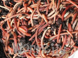 Worms 50g / 100g / 250 g / 500 g  / 1 Kg Composting Compost Tiger Worms