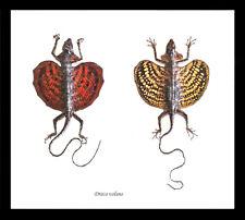 Framed lizards in shadowbox frame entomology Taxidermy Real Flying Lizards BGL2