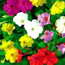 Four O' Clock's -Formula Mix - 15 Large Seeds! Beautiful Bright Mixed Colors!