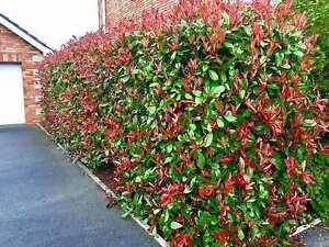 10 PZ  Pianta da siepe decorativa Photinia Red Robin vaso 7 cime rosse