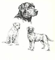 Labrador Retriever - 1963 Vintage Dog Print - Matted *