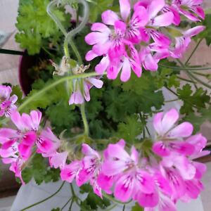 Pelargonium ' ISCO ROSE'   Duftgeranie ---    unbewurzelten Steckling