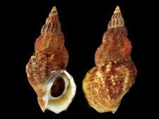 Buccinum ochotense - Shells from all over the World NEW!!!