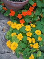 nasturtium, Jewel Mix, Edible Flower, 15 Seeds! GroCo