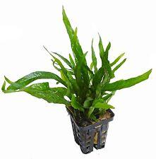 NEU!!! Microsorum mini - Mini Javafarn Wasserpflanzen Aquarium Aquariumpflanzen