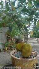 "Dwarf ""Golden Nugget "" JackFruit Grafted Plant for Terrace Garden  -1 Live Plant"