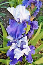 Tall Bearded Iris TRIPLE DELIGHT (bare rooted rhizome)
