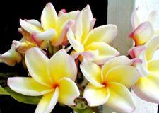 "Plumeria Plant, Hawaiian Yellow Flower, Rooted Seedling ""Vera Cruz Rose"""