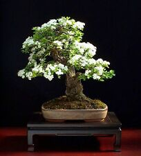Bonsai seeds - COMMON HAWTHORN - CRATAEGUS MONOGYNA
