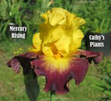 Tall Bearded Iris ~ Mercury Rising ~ Additional wins ship $1.25 each