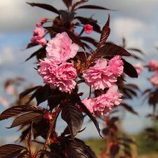 Prunus 'Royal Burgundy' 6-7ft 12 Litre Slot Pot 2yr Flowering Cherry Tree