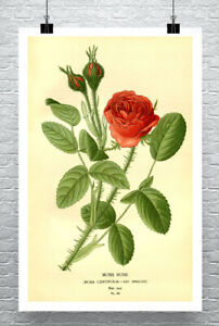 Red Moss Rose Antique Style Flower Illustration Giclee Print on Canvas or Paper