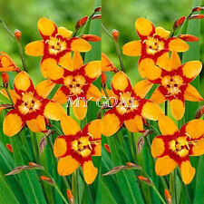 10Pcs Crocosmia Montbretia Plant Flower Bulbs Perennial Summer Home Garden