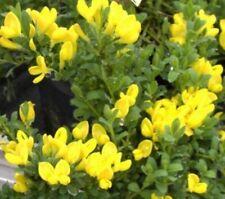 Cytisus decumbens  - Kissenginster