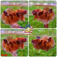 BS112 -Live Betta Fish High Quality Halfmoon Plakat HMPK Nemo Galaxy Koi