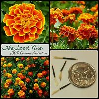20+ FRENCH MARIGOLD SEEDS (Tagetes patula) Beautiful Garden Annual Flower Yellow