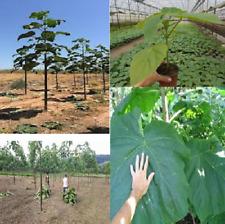 PAULOWNIA -H9501-(Pas SHAN TONG-TOMENTOSA-ELONGATA-Bonzai) -500 graines-seeds